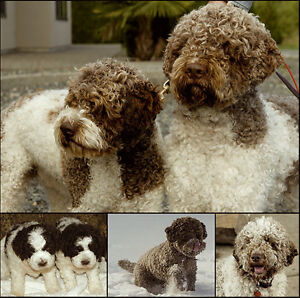 LAGOTTO ROMAGNOLO WORKING DOGS -PUPPIES AVAILABLE