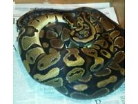 Male and female ball pythons het pied