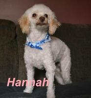 "Adult Female Dog - Poodle: ""Hannah - Happy Girl!"""