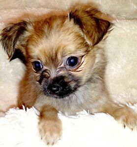 Chorkie - Yorkshire Terrier/ Chihuahua Mix - Female and Male