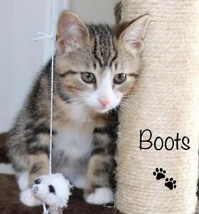 """Baby Male Cat - Domestic Short Hair: """"Boots"""""""