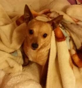 """Adult Female Dog - Chihuahua: """"Sandy - Experienced home needed"""""""