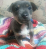 Rare Blue Tuxedo - RAT TERRIER - only one! PERFECT SMALL BREED