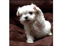 KC Maltese puppy boy Top Quality Bloodline LONDON AREA