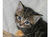 Beautiful tabby kitten needing a home!!