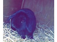 Beautiful 1 year old pure holland lop male🐰
