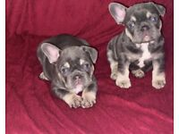 Lilac tan french bulldog KC REGISTERED !!