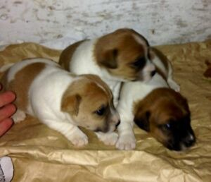PUREBRED jack russel puppies.