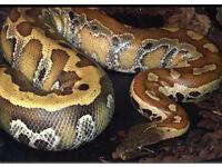 Blood Python NO OFFERS