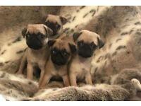 Four beautiful full bred pugs