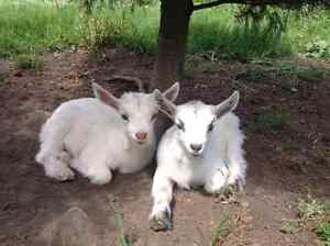 Goats for sale.