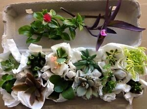 Succulent cutting pack. - Posted Alstonville Ballina Area Preview