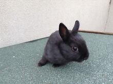 Baby Netherland Dwarft Bunny North Melbourne Melbourne City Preview