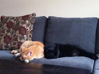 2 Male Indoor Neutered Cats (2 years old) for free + cat stuff