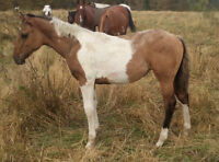 Dun Tobiano Running Bred APHA Filly