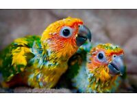 Super Tamed Cuddly Baby Sun Conure Talking Parrot