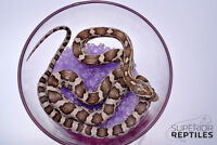Corn Snakes!
