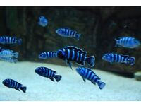 Some of the F1 Malawi Mbuna cichlids I have for sale.