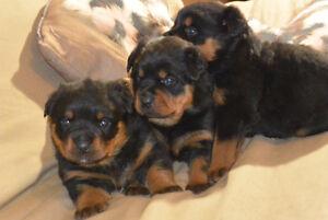 Rottweiler Puppies London Ontario image 9