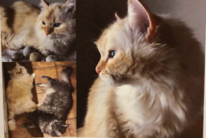 FOUND!! :) Long-haired creamy white and  apricot  tint cat