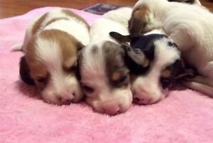 Miniature Dachshund Puppies AVAILABLE! Kawartha Lakes Peterborough Area image 7