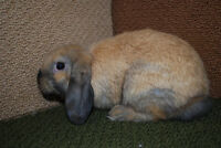 Female Holland Lop Bunny (Pet Rabbit)