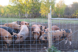 Tamworth x Berkshire market hogs ready to breed or butcher