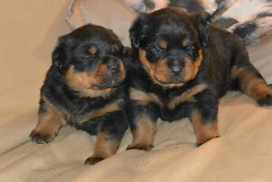 Rottweiler Puppies Kitchener / Waterloo Kitchener Area image 2