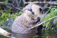 Wanted: someone to live-trap and re-locate beavers