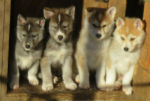 Pseudo Lobo Husky Pups for sale