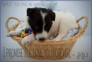 St. Bernard & Border Collie mix need a loving forever home