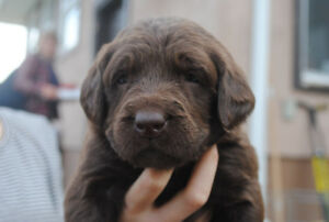 Chocolate F1 labradoodle -poodle cross