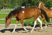 Lovely Tobiano Curly/Arabian mare