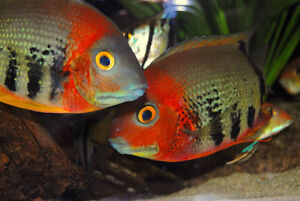 I want to buy Red Shoulder Severum