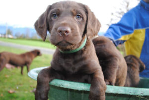 labradoodle puppies all chocolate brown!
