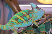 Veiled baby chameleons for sale