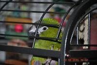 Perroquet Ara Hahn's