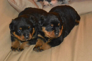 Rottweiler Puppies Kitchener / Waterloo Kitchener Area image 3