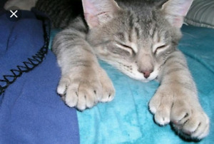 Polydactel or manx  cat or kitten wanted.