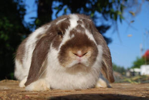 Chocolate Otter Holland Lops for sale!