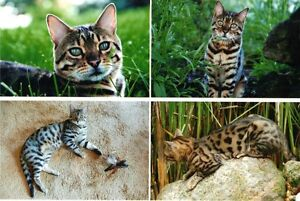 LOST: Bengal Cat Missing from Waterford Ontario. Reward Offered
