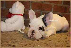 Sold sold FRENCH BULLDOGS MALE /BULLDOGS FRANCAISE