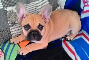 Purebreed French Bulldog Puppy