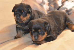 Rottweiler Puppies Kitchener / Waterloo Kitchener Area image 9