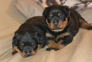 Rottweiler Puppies Kitchener / Waterloo Kitchener Area image 10