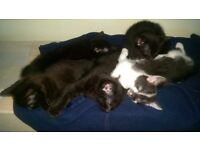 5 cute kittens for sale (4black, 1 black/white)