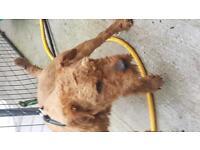 Lakeland terrier (patterdale,terrier,dog)