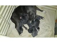 Kc Blue male and female staffy pups