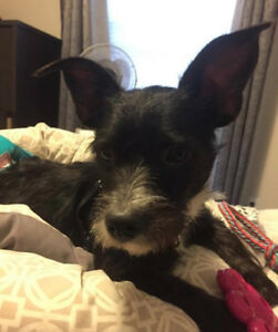 "Young Male Dog - Terrier: ""Joey"""