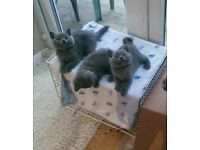 British blue kittens, sired by an Imperial Grand Champion & GCCF registered